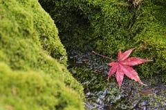Feuille d'érable rouge fallling sur le fond vert de mousse Images stock