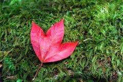 Feuille d'érable rouge sur la mousse verte Photos libres de droits