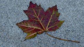 Feuille d'érable rouge sur le trottoir blanc Image stock
