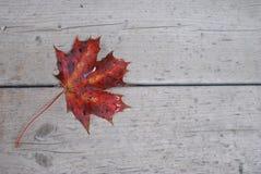 Feuille d'érable rouge tombée sur le fond en bois gris Image stock