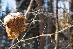 Feuille d'érable sèche dans les bois d'hiver Images stock