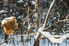 Feuille d'érable sèche dans les bois d'hiver Photos libres de droits
