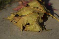 Feuille d'érable sèche de Brown Photo stock