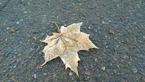 Feuille d'érable solitaire dans le gel sur le trottoir photo libre de droits