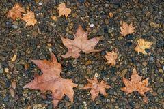 Feuille d'érable sur le plancher en pleuvant le jour Image stock