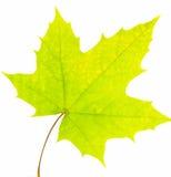 Feuille d'érable verte Photographie stock