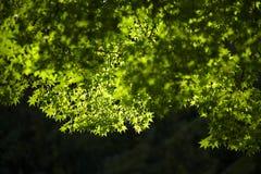Feuille d'érable verte Images libres de droits