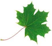 Feuille d'érable verte d'automne d'isolement sur le fond blanc Photos libres de droits
