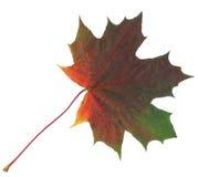Feuille d'érable verte et rouge d'automne d'isolement sur le fond blanc Photos libres de droits