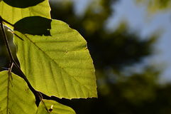 Feuille d'arbre photographie stock libre de droits