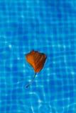 Feuille d'arbre dans la piscine Image libre de droits