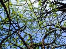 Feuille d'arbre de calebasse Image libre de droits
