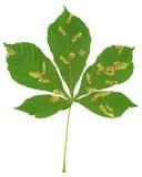 Feuille d'arbre de châtaigne attaquée par le mineur de feuille de marron d'Inde, ohridella de Cameraria Image libre de droits
