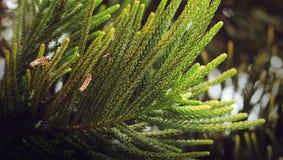 Feuille d'arbre de Noël image libre de droits