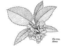 Feuille d'arbre d'orme, fruits, illustration de branche, dessin, gravure, encre, schéma, vecteur illustration libre de droits