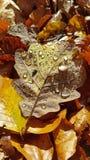 Feuille d'or d'automne de Brown avec des gouttes de l'eau sur la surface images libres de droits