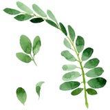 Feuille d'automne de l'acacia dans un style tiré par la main d'aquarelle d'isolement Image stock