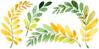 Feuille d'automne de l'acacia dans un style tiré par la main d'aquarelle d'isolement Photographie stock libre de droits