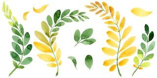 Feuille d'automne de l'acacia dans un style tiré par la main d'aquarelle d'isolement Photos stock