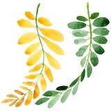 Feuille d'automne de l'acacia dans un style tiré par la main d'aquarelle d'isolement Photo libre de droits