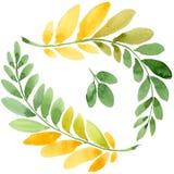 Feuille d'automne de l'acacia dans un style tiré par la main d'aquarelle d'isolement Photo stock