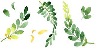 Feuille d'automne de l'acacia dans un style tiré par la main d'aquarelle d'isolement Images stock