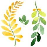 Feuille d'automne de l'acacia dans un style tiré par la main d'aquarelle d'isolement Image libre de droits