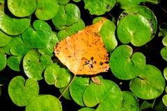 Feuille d'automne sur le leafage de lac Image libre de droits