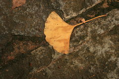 Feuille d'Autumn Ginkgo en Alfred Nicholas Gardens Photos stock