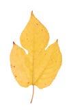 Feuille d'hortensia d'isolement sur le blanc Photographie stock libre de droits