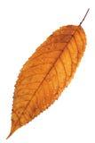 Feuille d'isolement rougeâtre de cerise image stock