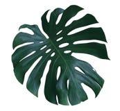 Feuille d'usine de Monstera, la vigne à feuilles persistantes tropicale d'isolement sur le fond blanc, chemin Photo libre de droits