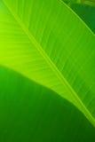 Feuille de Banan Photographie stock libre de droits