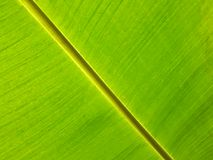 feuille de banane Image libre de droits