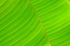 Feuille de banane Photographie stock libre de droits