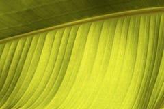 Feuille de banane Photo stock