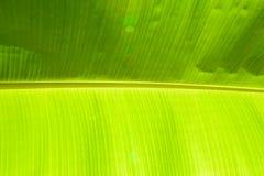 feuille de banane Photos stock