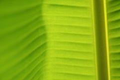 feuille de banane Photos libres de droits