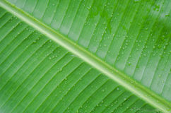 feuille de banane Photos stock