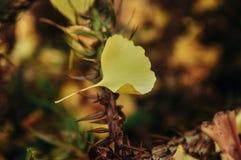 Feuille de biloba de Ginkgo en automne photos libres de droits
