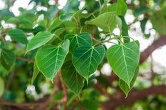Feuille de Bodhi ou de Peepal de l'arbre de Bodhi, bouddhiste Images stock