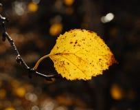 Feuille de bouleau d'automne Photo stock