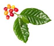 Feuille de café avec des berrys Images libres de droits