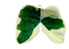 Feuille de Caladium comme forme de poumon Image libre de droits