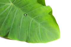 Feuille de Caladium dans la couleur verte Photos libres de droits