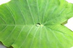 Feuille de Caladium dans la couleur verte Photos stock