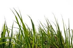 Feuille de canne à sucre Photographie stock libre de droits