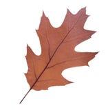 Feuille de chêne comme symbole d'automne Images stock