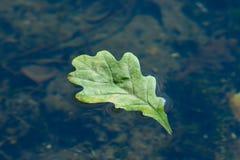 Feuille de chêne d'automne flottant dans l'eau Photo stock