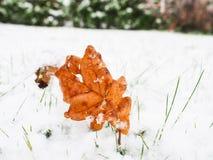 Feuille de chêne de Brown avec la neige fraîche Image libre de droits